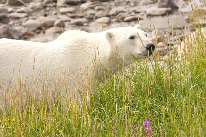 Polar Bear deep in the grass. Canadian Polar Bear walking in the colorful arctic tundra of the Hudson Bay near Churchill, Manitoba in summer royalty free stock photos