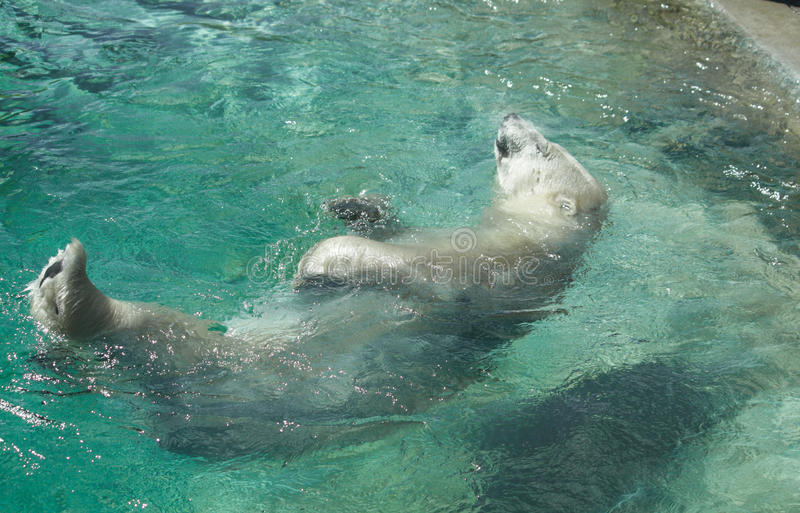 Polar Bear Dip. Polar Bear enjoying a dip in the water royalty free stock images