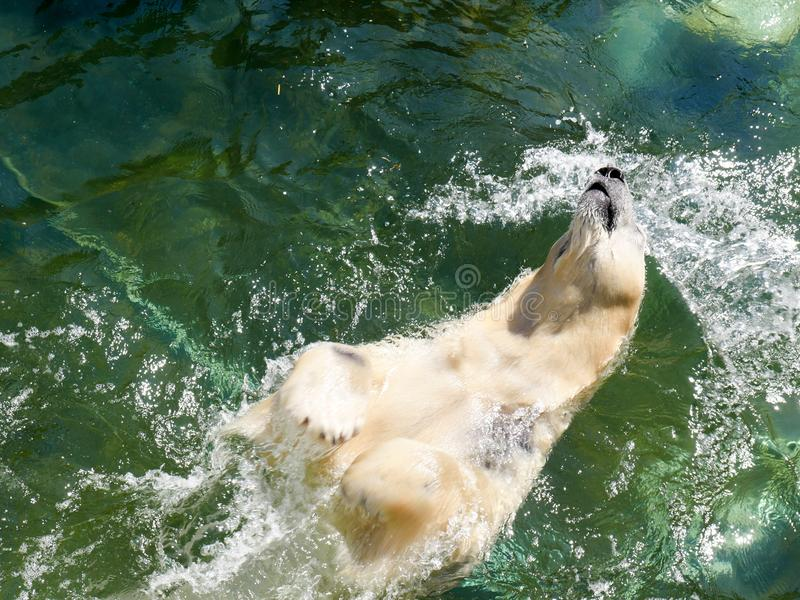 Polar bear diving on his back stock photography