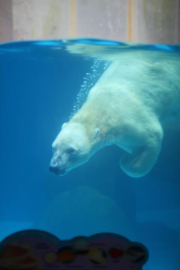 Polar bear. Diving inside aquarium at Singapore zoo stock image