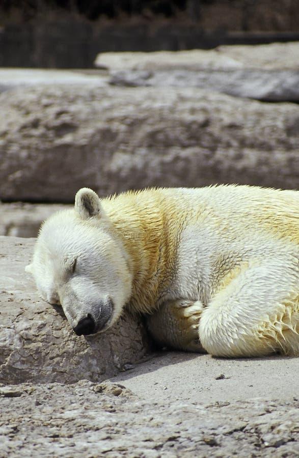 Download Polar bear dreams stock image. Image of bear, snooze, rock - 101917