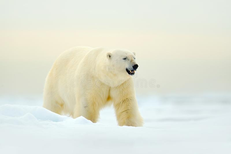 Polar bear on drift ice edge with snow a ice in Arctic Svalbard. White animal in the nature habitat, Norway. Wildlife scene from N. Orway nature. Polar bear royalty free stock photo