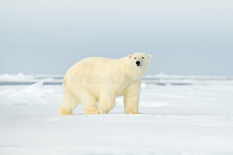 Polar bear on drift ice edge with snow a water in Arctic Svalbard. White animal in the nature habitat, Norway. Wildlife scene from stock image
