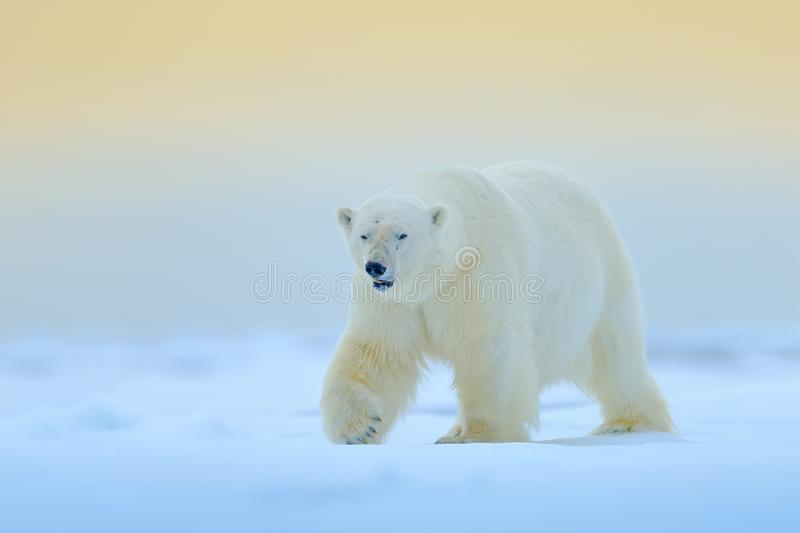Polar bear on drift ice edge with snow and water in Manitoba, Canada. White animal in the nature habitat. Wildlife scene from natu stock images