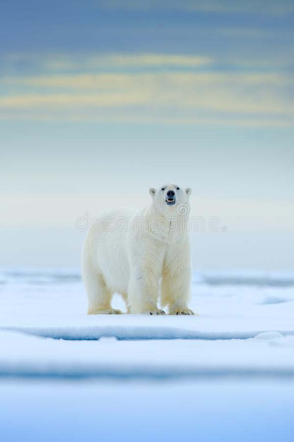 Polar bear on drift ice edge with snow and water in Norway sea. White animal in the nature habitat, Europe. Wildlife scene from na stock photography