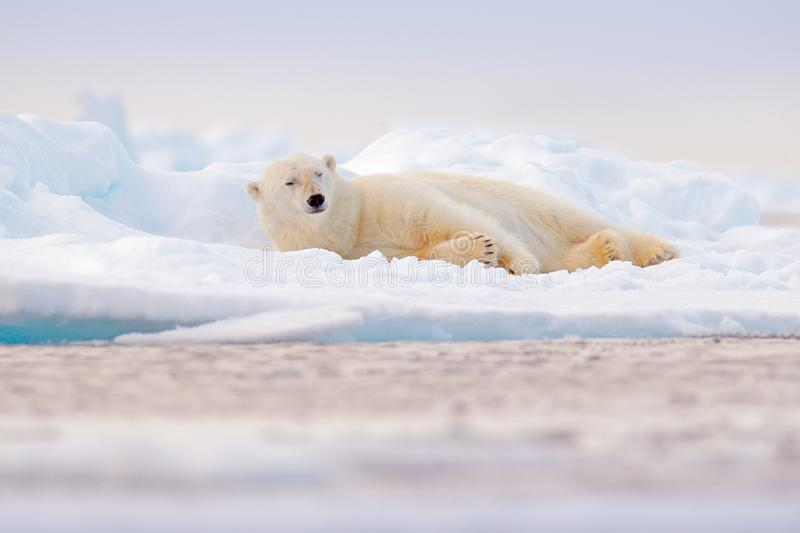 Polar bear on drift ice edge with snow and water in Norway sea. White animal in the nature habitat, Svalbard, Europe. Wildlife. Scene from nature royalty free stock image