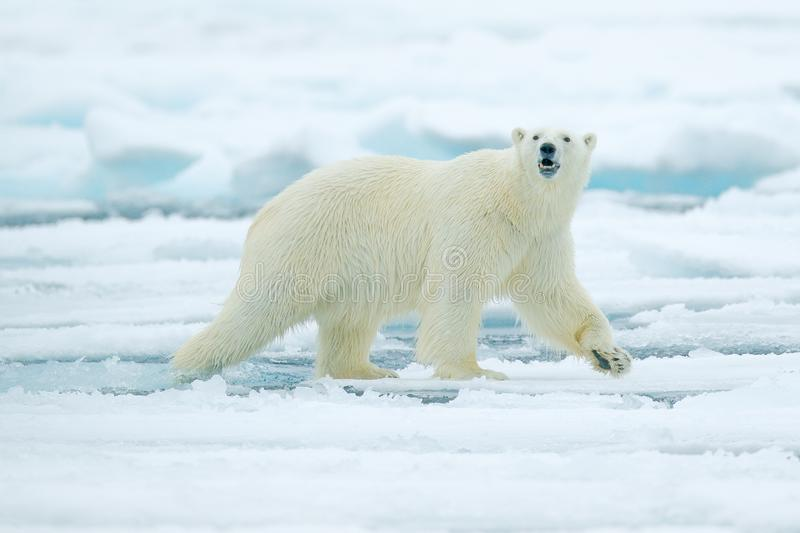 Polar bear on drift ice edge with snow and water in Russian sea. White animal in the nature habitat, Europe. Wildlife scene from n royalty free stock photos