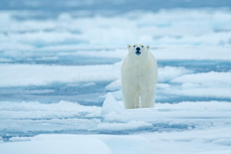 Polar bear on drift ice edge with snow and water in Russian sea. White animal in the nature habitat, Europe. Wildlife scene from n stock images