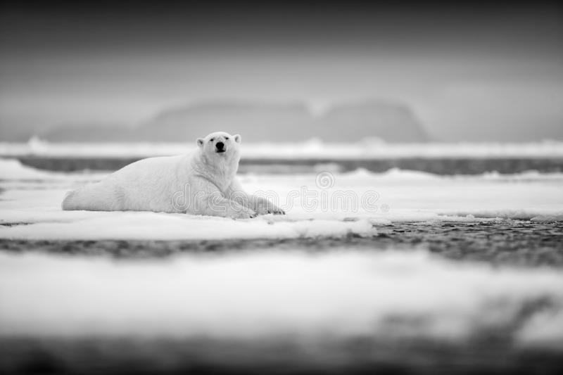 Polar bear on drift ice edge with snow and water in sea. White animal in the nature habitat, north Europe, Svalbard, Norway. Wildl. Ife scene from nature. Black stock image