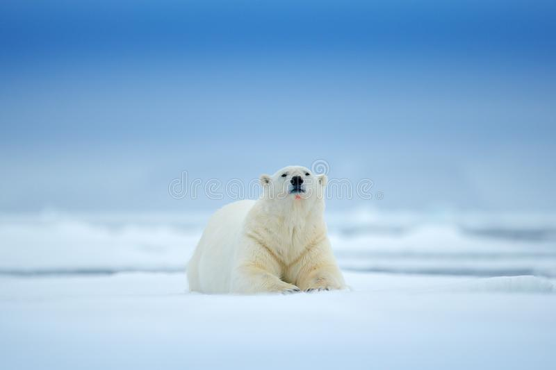 Polar bear on drift ice edge with snow and water in sea. White animal in the nature habitat, north Europe, Svalbard, Norway. Wildlife scene from nature royalty free stock photography