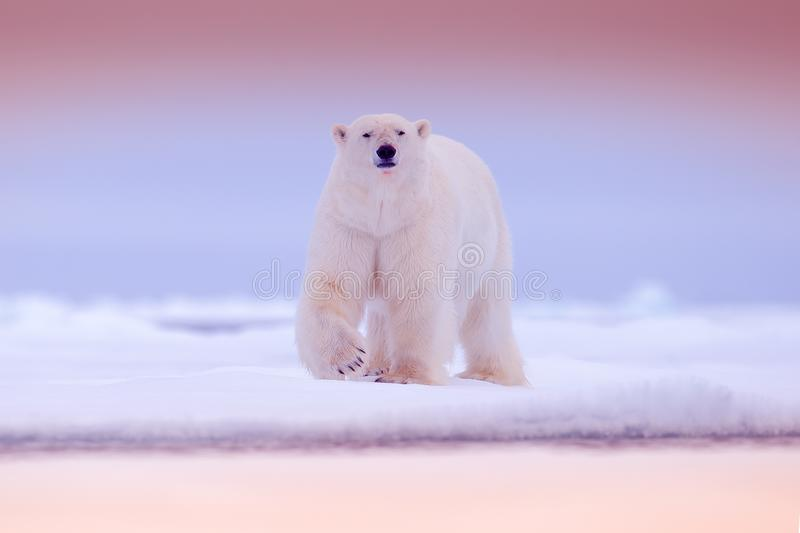 Polar bear on drift ice edge with snow and water in sea. White animal in the nature habitat, North Europe, Svalbard stock photo