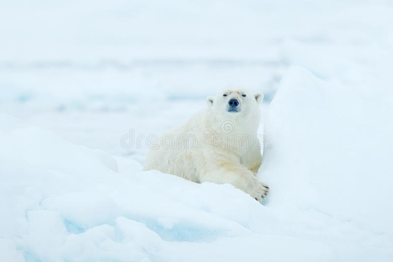Polar bear on drift ice edge with snow and water in Svalbard sea. White big animal in the nature habitat, Europe. Wildlife scene f. Rom nature. Dangerous bear stock images