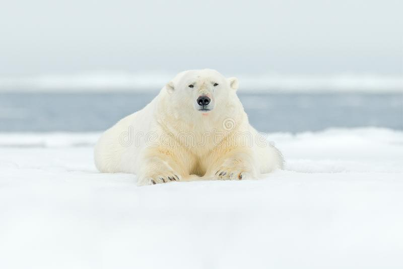 Polar bear on drift ice edge with snow and water in Svalbard sea. White big animal in the nature habitat, Europe. Wildlife scene f stock photography