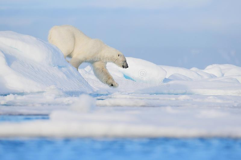 Polar bear on drift ice edge with snow and water in Svalbard sea. White big animal in the nature habitat, Europe. Wildlife scene. From nature. Dangerous bear royalty free stock photos