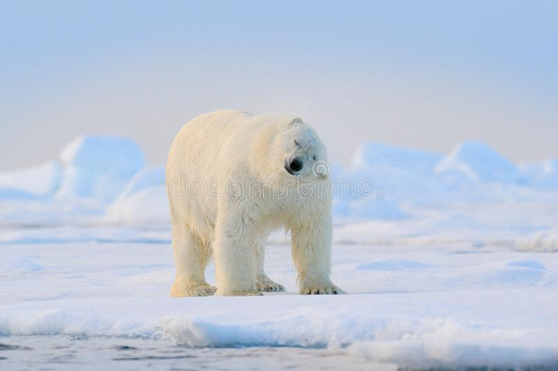 Polar bear on drift ice edge with snow and water in Svalbard sea. White big animal in the nature habitat, Europe. Wildlife scene. From nature. Dangerous bear royalty free stock photography