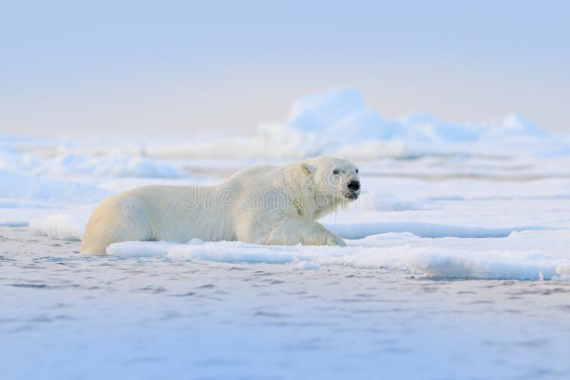 Polar bear on drift ice edge with snow and water in Svalbard sea. White big animal in the nature habitat, Europe. Wildlife scene. From nature. Dangerous bear stock photos