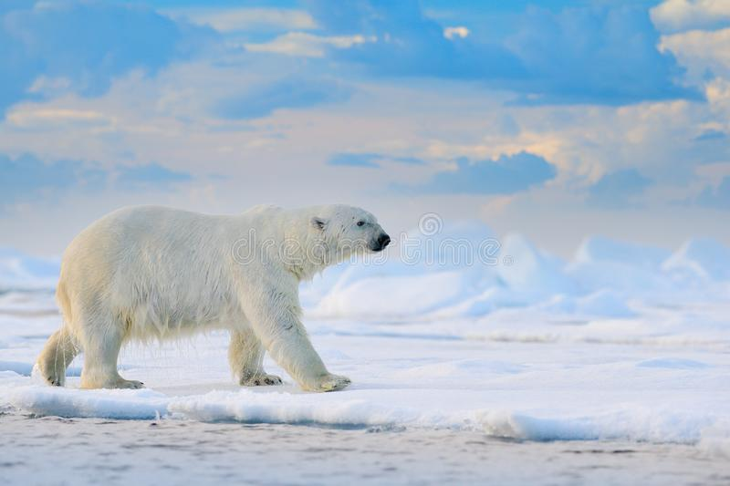 Polar bear on drift ice edge with snow and water in Svalbard sea. White big animal in the nature habitat, Europe. Wildlife scene. From nature. Dangerous bear stock image
