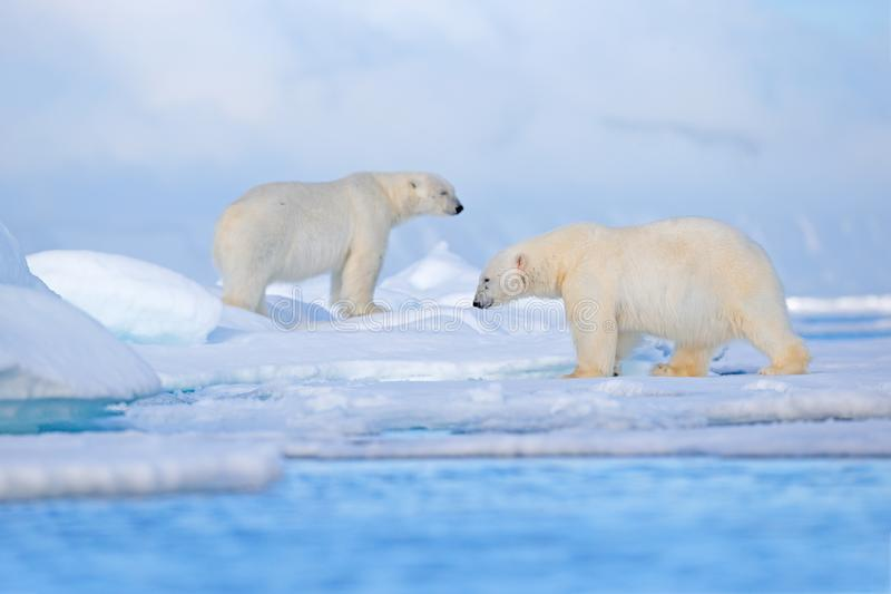 Polar bear on drift ice edge with snow and water in Svalbard sea. White big animal in the nature habitat, Europe. Wildlife scene. From nature. Dangerous bear royalty free stock photo
