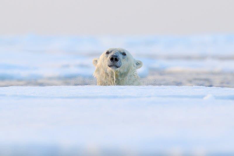 Polar bear on drift ice, Svalbard, Norway. Wildlife nature,. Europe royalty free stock image