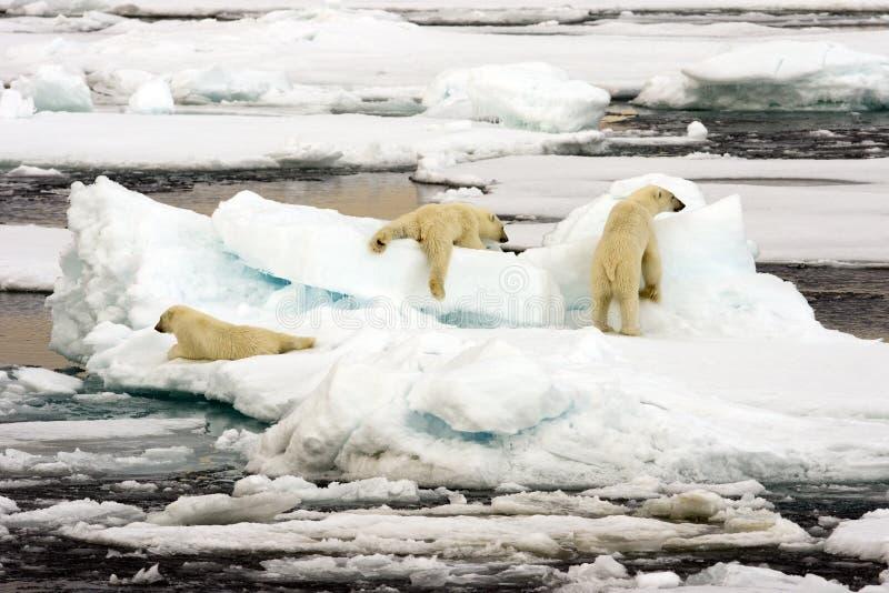 Download Polar bear family stock image. Image of playing, cruise - 6995083