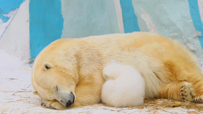 Polar bear family sleep in a zoo in a winter. Polar bear family sleep in a zoo in winter royalty free stock images