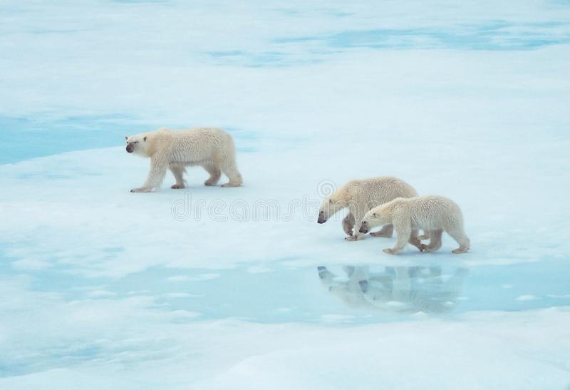 Polar bear family walking on ice in the Arctic stock photography
