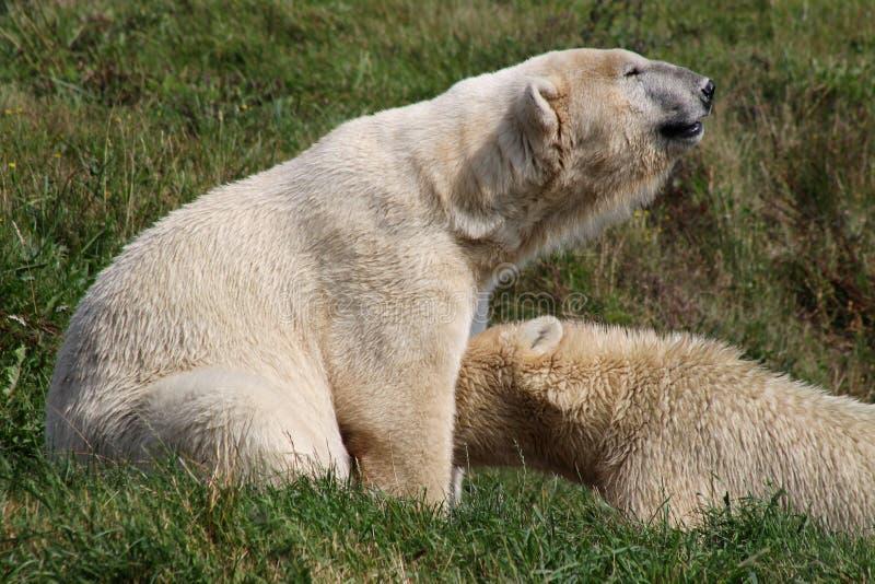 Polar bear feeding her baby. Denmark royalty free stock photography