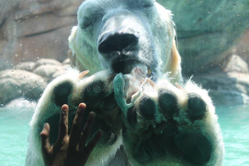 Polar Bear Feeding stock images