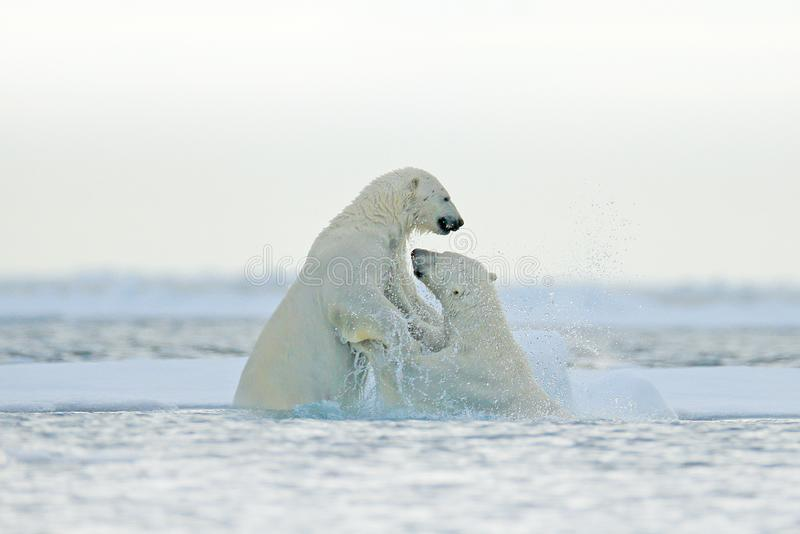Polar bear fight in the water. Two Polar bears playing on drifting ice with snow. White animals in the nature habitat, Svalbard,. Norway. Animals playing in royalty free stock photos