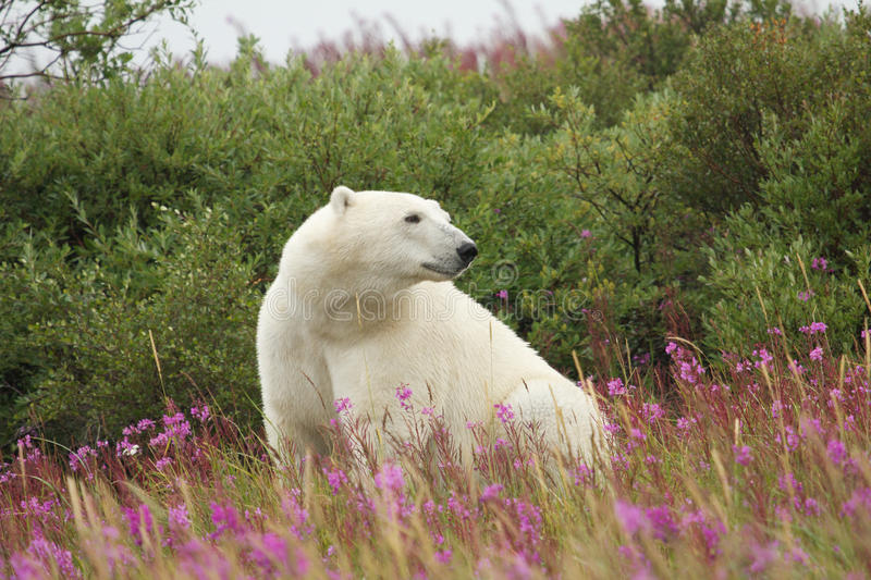 Polar Bear and Fire Weed 3. Canadian Polar Bear sitting in the colorful arctic tundra of the Hudson Bay near Churchill, Manitoba in summer stock images