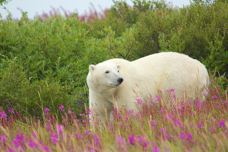 Polar Bear and Fire Weed 2. Canadian Polar Bear walking in the colorful arctic tundra of the Hudson Bay near Churchill, Manitoba in summer royalty free stock images