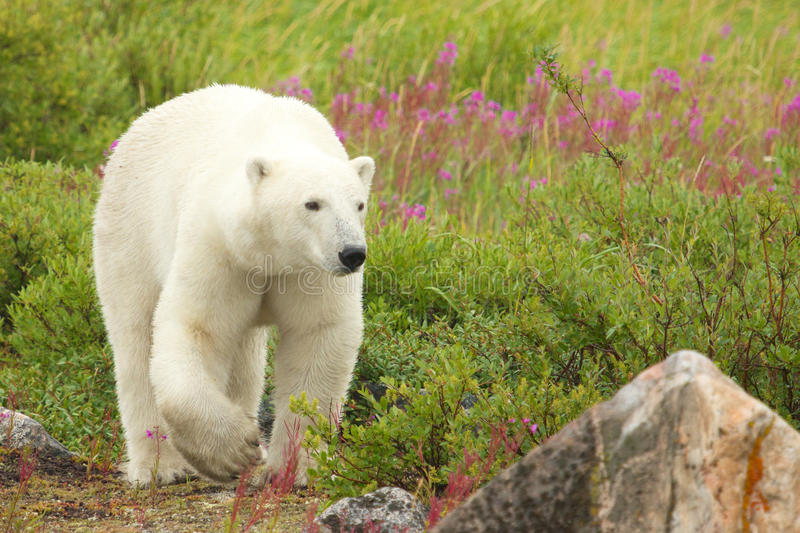 Polar Bear and Fire Weed 4. Canadian Polar Bear walking in the colorful arctic tundra of the Hudson Bay near Churchill, Manitoba in summer stock photo
