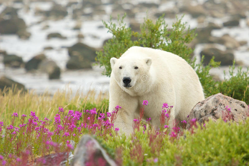 Polar Bear and Fire Weed 5. Canadian Polar Bear walking in the colorful arctic tundra of the Hudson Bay near Churchill, Manitoba in summer stock photos
