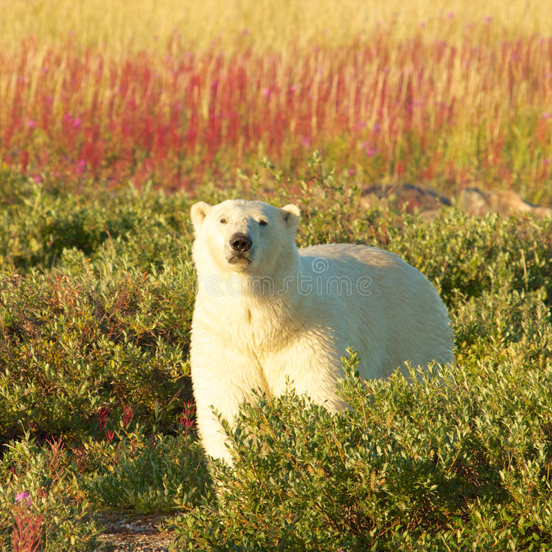 Polar Bear and Fire Weed SQ. Canadian Polar Bear walking in the colorful arctic tundra of the Hudson Bay near Churchill, Manitoba in summer royalty free stock photo