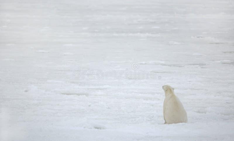 Polar bear at the frozen sea. royalty free stock images