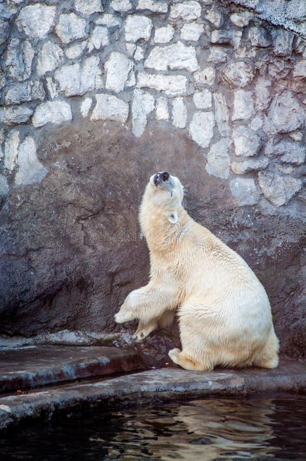 Polar bear in a funny pose stock photos