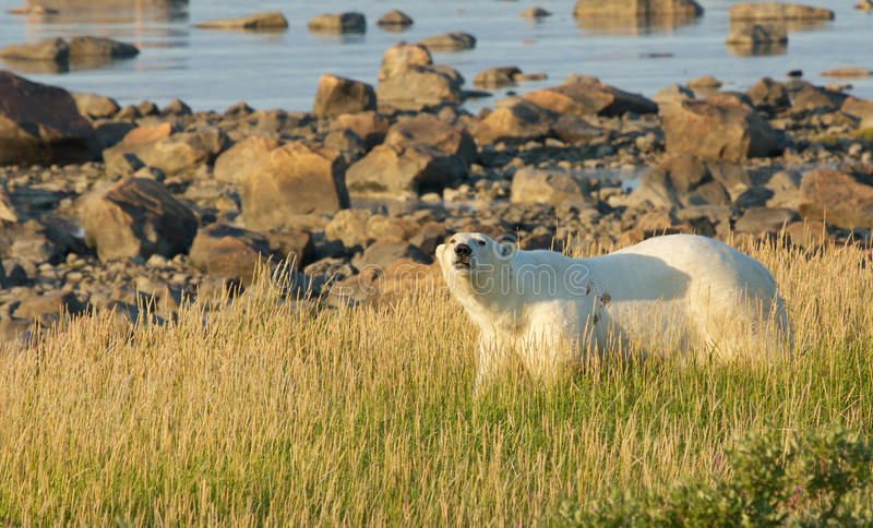 Polar Bear in the grass. Canadian Polar Bear walking in the colorful arctic tundra of the Hudson Bay near Churchill, Manitoba in summer stock images