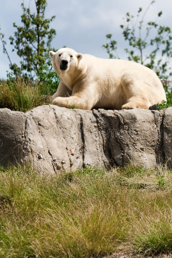 Polar bear on a green meadow stock photos
