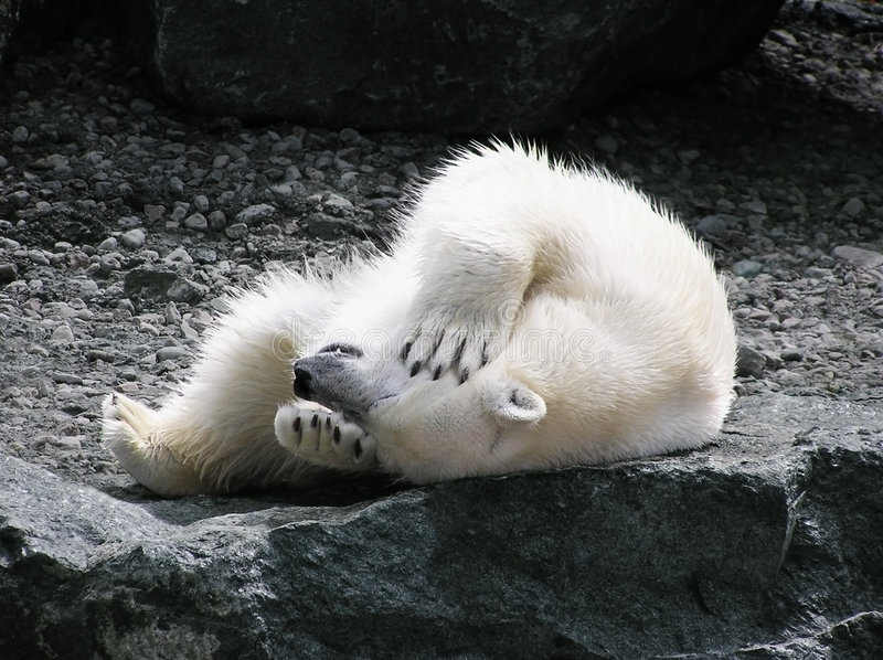 Polar bear having fun. Polar bear rolling on its back holding its head with teeth showing royalty free stock photo