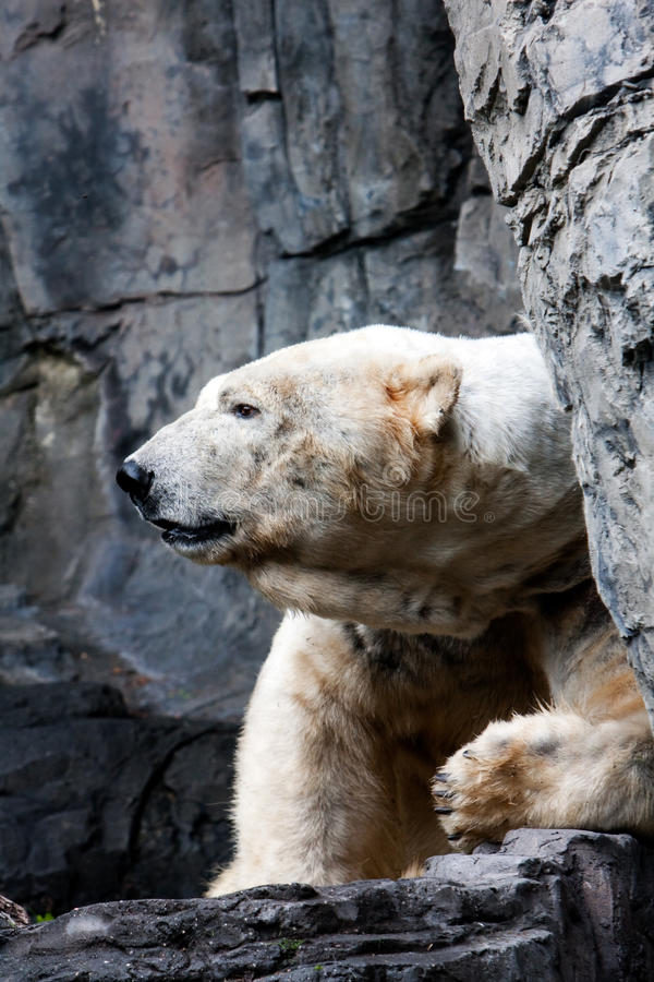 Polar bear head stock photo