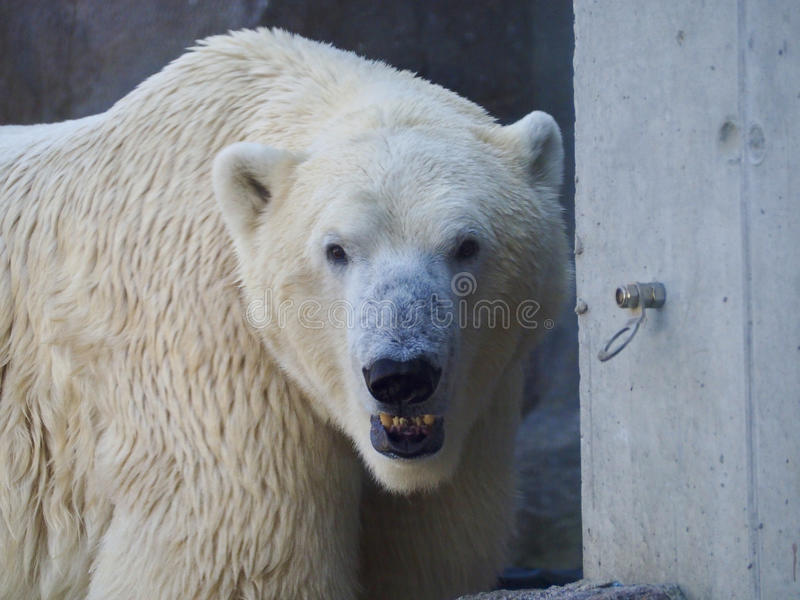 Polar bear head royalty free stock photo