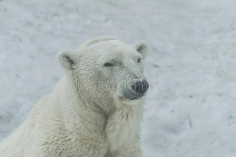 Polar bear  head portrait ,ursus maritimus royalty free stock photography