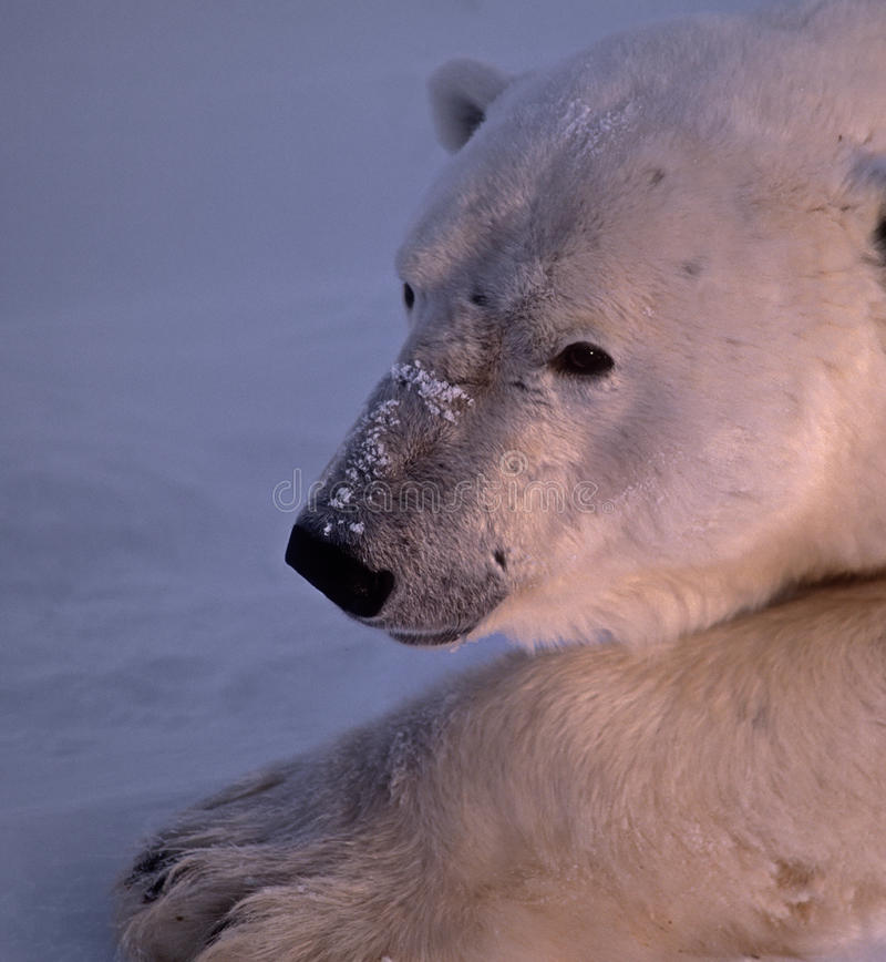 Download Polar bear head shot stock photo. Image of animal, portrait - 15758640