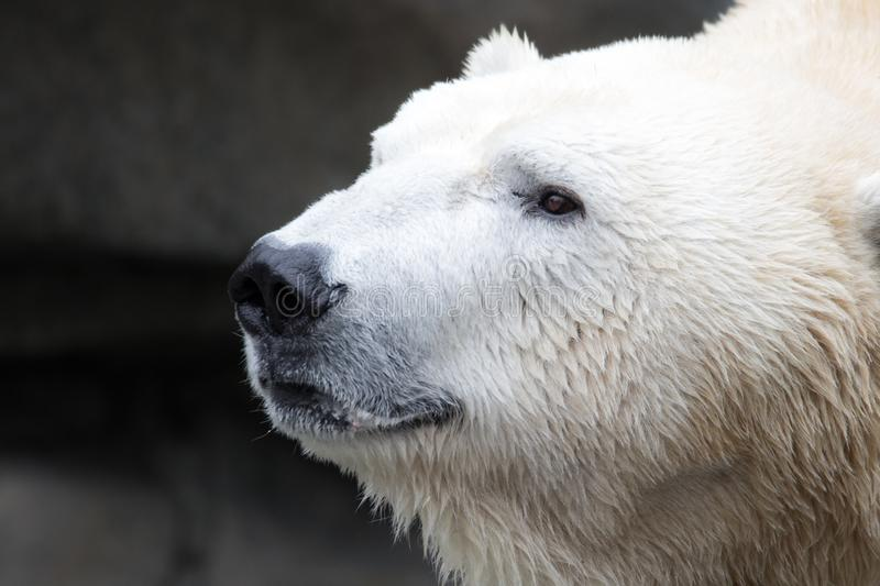Polar Bear Head Shot stock photography