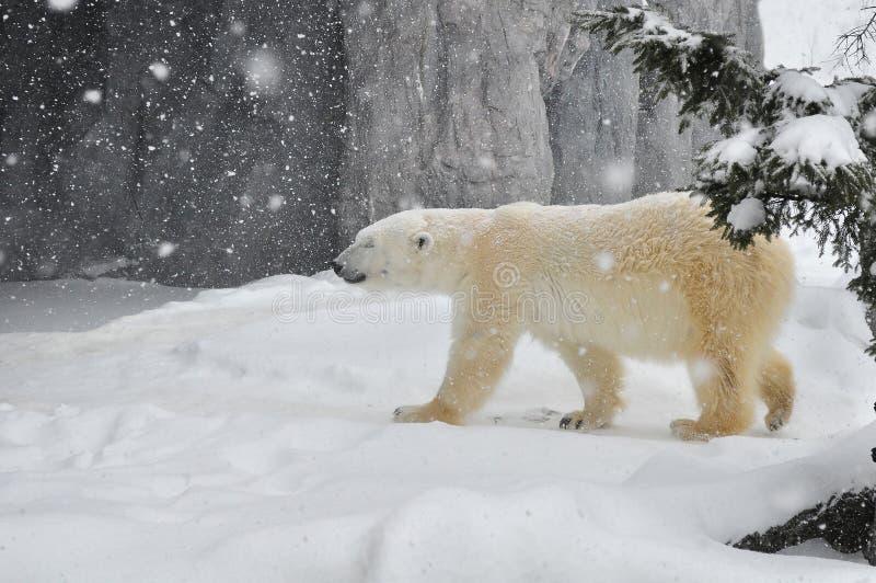 The polar bear in heavy snow. stock images