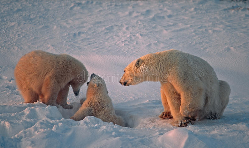 Download Polar bear with her cubs stock photo. Image of cubs, young - 16762924