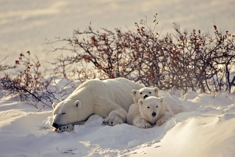 Polar bear with her cubs stock image