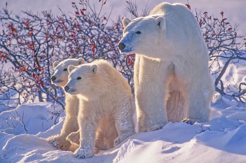 Polar bear with her cubs in snow royalty free stock photo