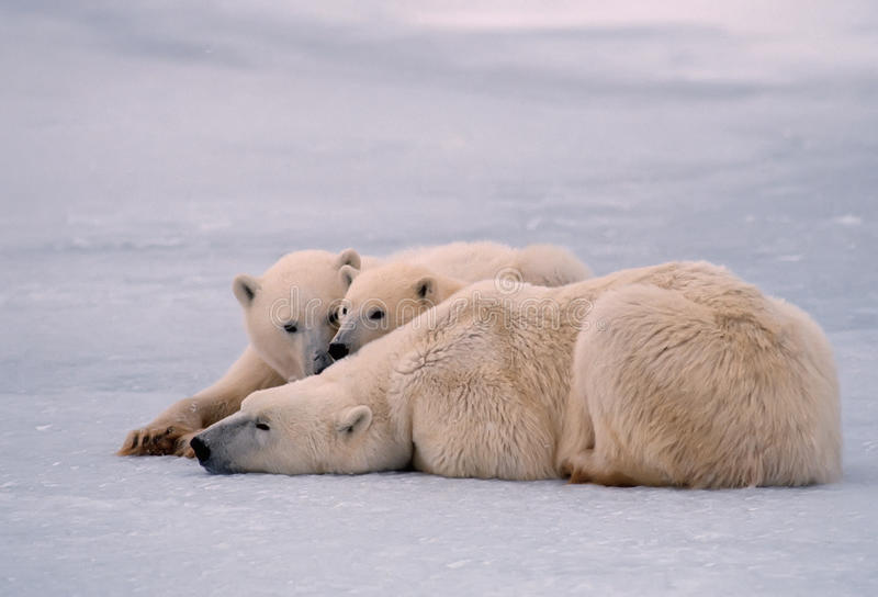 Download Polar Bear With Her Yearling Cubs Stock Photo - Image: 13230360