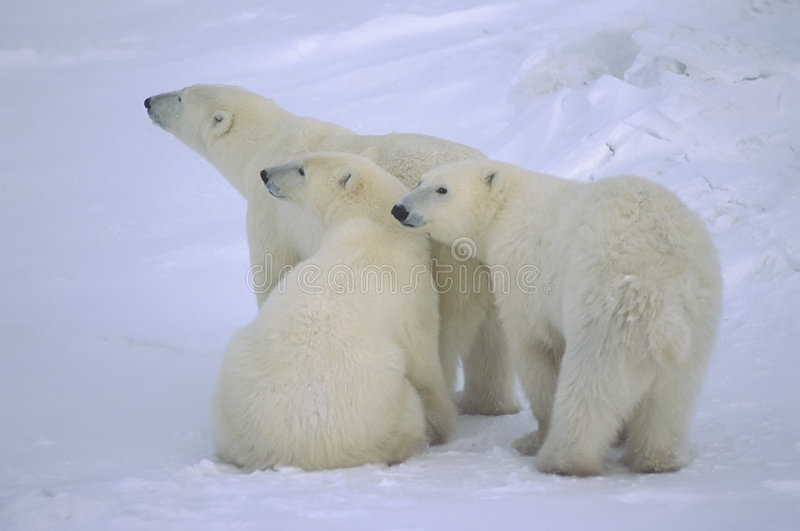 Polar bear with her yearling cubs stock photo